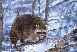 Raccoon (Procyon lotor) on a snowy log, North America. - Visuals Unlimited