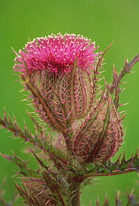 Texas thistle flower and flower bud (Cirsium texanum), Texas, USA. - Visuals Unlimited