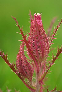 Texas hhistle flower buds (Cirsium texanum) Texas, USA.  -  Visuals Unlimited