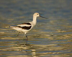 American avocet (Recurvirostra americana) wading in water, USA.  -  Visuals Unlimited