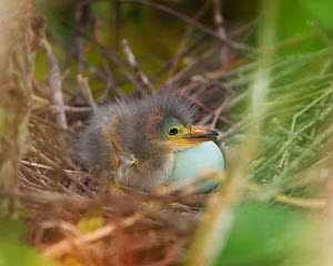Green heron (Butorides virescens) newly hatched chick in the nest next to an egg, Southern USA.  -  Visuals Unlimited