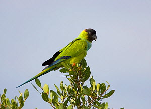 Black-hooded parakeet (Nandayus nenday) an introduced species into South Florida, USA.  -  Visuals Unlimited