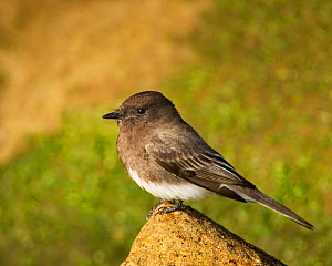 Black phoebe (Sayornis nigricans) California, USA.  -  Visuals Unlimited