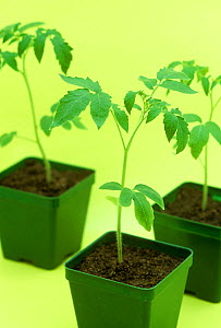 Tomato (Lycopersicon esculentum) seedlings in pots ready for planting.  -  Visuals Unlimited