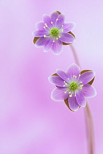 Hepatica flowers (Hepatica americana), Eastern USA.  -  Visuals Unlimited