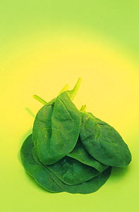 Spinach (Spinacia oleracea), Bloomsdale variety - Visuals Unlimited