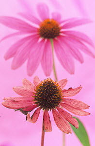 An ageing Purple Coneflower (Echinacea purpurea) with a fresh Purple Coneflower in the background. - Visuals Unlimited