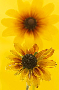 Black-eyed Susan (Rudbeckia hirta) ageing flower in the foreground with a fresh flower behind it  -  Visuals Unlimited