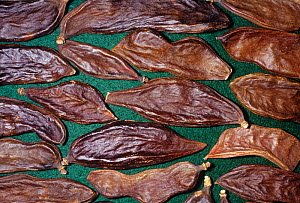 Carob / St. John's Bread (Ceratonia siliqua) dry seed pods for use as a spice or herb, Native to the Mediterranean region.  -  Visuals Unlimited