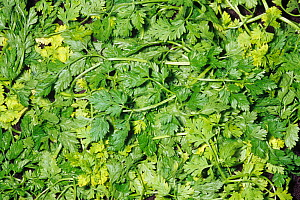 Chervil (Anthriscus cerefolium) aromatic leaves used as a spice or herb. Native to Eastern Europe and Western Asia. - Visuals Unlimited