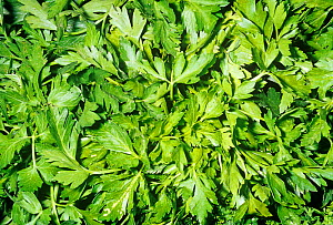 Parsley (Petroselinum neapolitanum) leaves for use as a spice or herb.  -  Visuals Unlimited