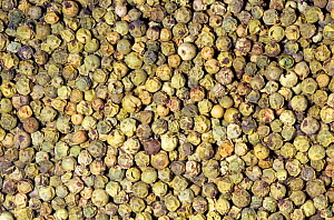 Dried green Peppercorn or Pepper fruits (Piper nigrum) for use as a spice or herb. Native to Southern India.  -  Visuals Unlimited