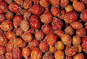 Dried Rosehips or fruits (Rosa canina) for use as a spice or flavoring. Native to the Middle East and Europe.  -  Visuals Unlimited