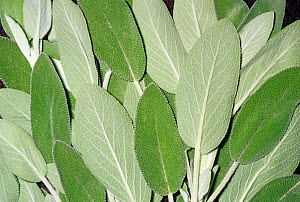 Aromatic Sage leaves (Salvia officinalis) for use as a spice or flavouring. Native to the Mediterranean region and North Africa.  -  Visuals Unlimited