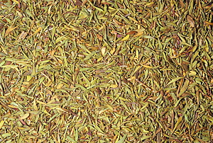 Dried Thyme leaves (Thymus vulgaris) for use as a spice or flavouring. Native to the Mediterranean region.  -  Visuals Unlimited