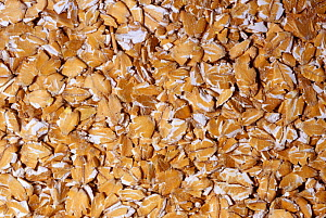 Flakes of Spelt, a hardy and ancient variety of Wheat (Triticum spelta) native to Southern Europe. - Visuals Unlimited