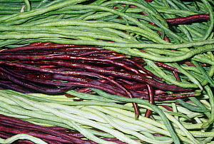 Mixture of Chinese Long Bean pods (Vigna unguiculata). Native to North and West Africa. - Visuals Unlimited