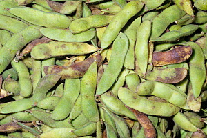 Edamame or edible Soybean pods (Glycine max). Native to Northern Asia. - Visuals Unlimited
