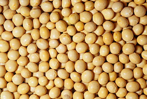 Soybeans (Glycine max). - Visuals Unlimited