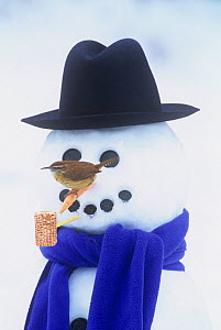 Carolina Wren (Thryothorus ludovicianus) on a snowman.  -  Visuals Unlimited