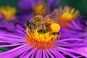 Honey Bee (Apis mellifera) with a pollen basket on its hind leg and pollen grains from flowers that it has visited.  -  Visuals Unlimited