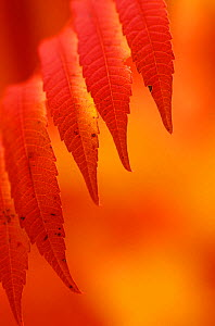 Sumac leaves in the fall (Rhus typhina).  -  Visuals Unlimited