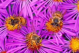 Honey Bees (Apis mellifera) pollinating New England Aster flowers. - Visuals Unlimited