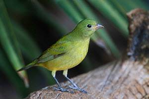 A female Painted Bunting (Passerina ciris) Eastern USA.  -  Visuals Unlimited