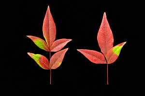 Autumn leaves of Nandina plants. Sunlight stimulates the synthesis of red anthocyanin pigments in the fall but where part of the leaf is shaded by another leaf only the yellow carotenoid pigments are...  -  Visuals Unlimited