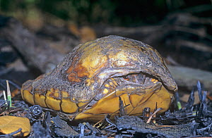Eastern Box Turtle (Terrepene carolina) survivor of forest fires. USA.  -  Visuals Unlimited