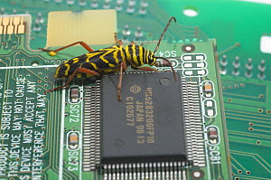 Locust Borer (Megacyllene robiniae) on a printed circuit board next to an integrated circuit. - Visuals Unlimited