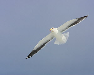 Glaucous-winged Gull (Larus glaucescens) flying, USA.  -  Visuals Unlimited