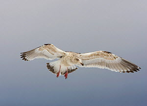 Slaty-backed Gull (Larus schistisagus) flying, North America.  -  Visuals Unlimited