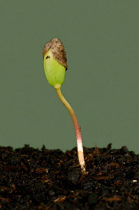 Apple seedling (Malus communis) with cotyledons still trapped by the seed coat.  -  Nigel Cattlin