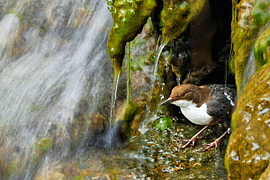 Dipper (Cinclus cinclus) emerging from nest on waterfall, Brecon Beacons National Park, Wales, UK - Andy Rouse
