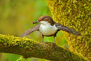 Dipper (Cinclus cinclus) portrait, standing on moss covered branch, with wings outstretched, and food for chicks in beak, Brecon Beacons National Park, Wales, UK  -  Andy Rouse / 2020VISION