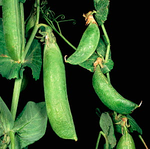 Pea Seed Borne Mosaic Virus (PSbMV)-affected stunted pea pods compared to healthy Pea pods (Pisum sativum) - Nigel Cattlin