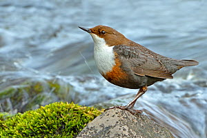 Dipper (Cinclus cinclus) portrait, standing on exposed stone in fast flowing river, Brecon Beacons National Park, Wales, UK - Andy Rouse / 2020VISION