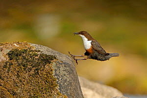 Dipper (Cinclus cinclus) landing on exposed stone,  with insect prey for chicks in beak, Brecon Beacons National Park, Wales, UK - Andy Rouse / 2020VISION