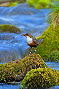 Dipper (Cinclus cinclus) portrait, standing on exposed stone in fast flowing river, with food for chicks in beak, Brecon Beacons National Park, Wales, UK  -  Andy Rouse / 2020VISION