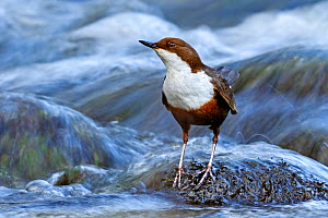 Dipper (Cinclus cinclus) portrait, standing in fast flowing freshwater river, Brecon Beacons National Park, Wales, UK  -  Andy Rouse