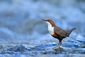 Dipper (Cinclus cinclus) portrait, standing in fast flowing freshwater river, Brecon Beacons National Park, Wales, UK - Andy Rouse / 2020VISION