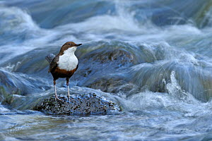 Dipper (Cinclus cinclus) portrait, standing on exposed stone, in fast flowing freshwater river, Brecon Beacons National Park, Wales, UK  -  Andy Rouse