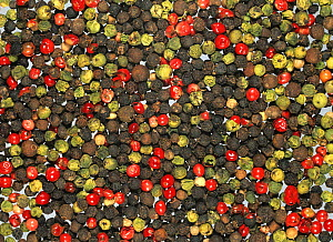 Mixed Peppercorns of various colours, red, black, and green (Piper).  -  Nigel Cattlin
