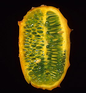 A section of Horned melon / Kiwano fruit (Cucumis metuliferus), from Israel.  -  Nigel Cattlin