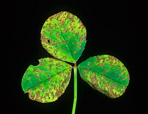 Leaf Spot (Pseudopeziza sp) on White Clover leaves (Trifolium repens).  -  Nigel Cattlin