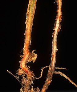 Root section of a Pea plant (Pisum sativum) to show red staining caused by Foot Rot (Fusarium solani). - Nigel Cattlin