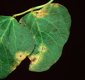 Halo Blight (Pseudomonas phaseolicola) chlorotic yellow lesions on a Runner Bean leaf (Phaseolus coccineus). - Nigel Cattlin