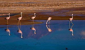 Flock of Chilean Flamingos (Phoenicopterus chilensis) feeding, with the reflection of Andean volcanos in the heavily salted waters of this laguna, Atacama Desert, Los Flamencos National Reserve, Chile...  -  Jack Dykinga