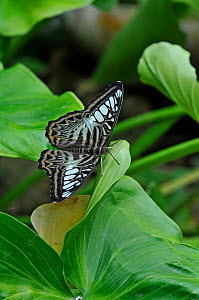 Clipper Butterfly (Parthenos sylvia) at rest with wings open. - Adrian Davies